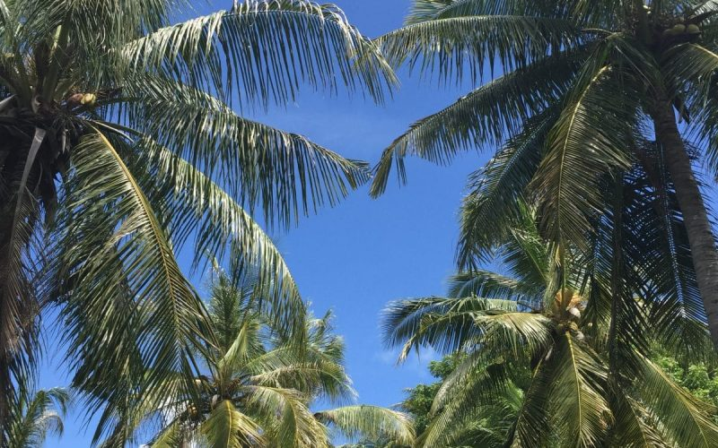 swaying coconut trees